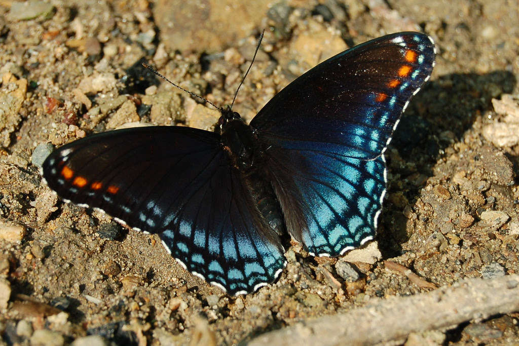 red spotted purple south